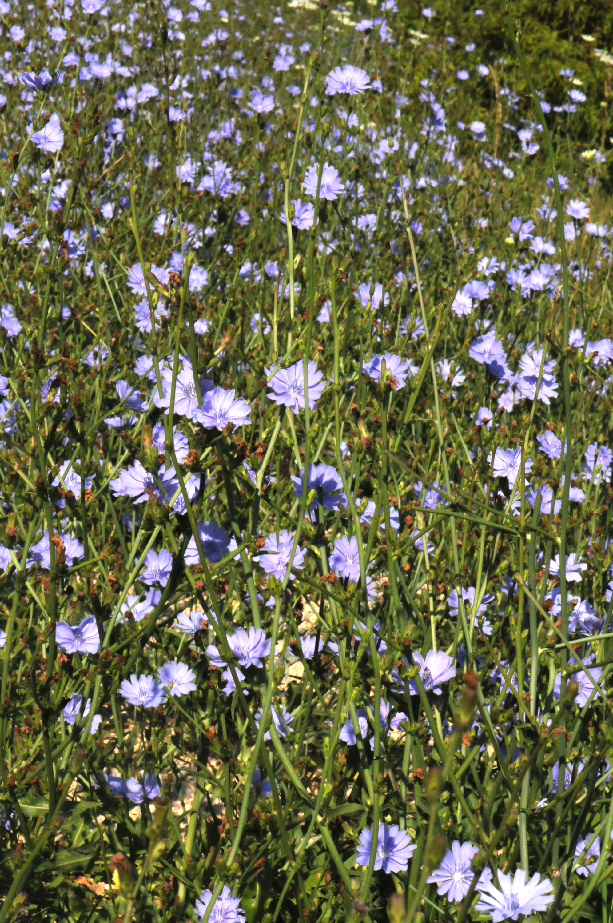 Chicory–More Than A Coffee Substitute